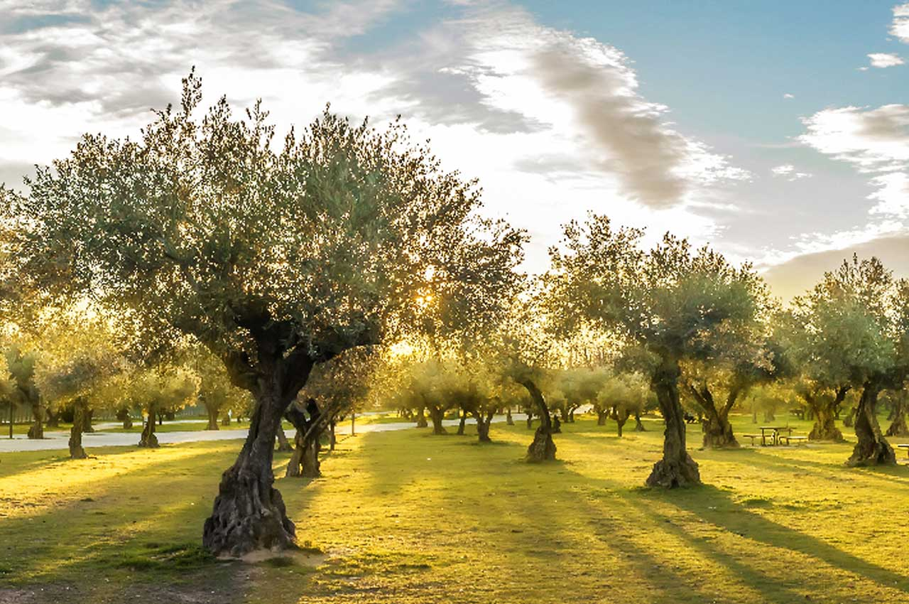 How Are Olive Trees Grown?